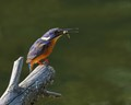 Azure Kingfisher with catch