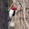 Redheaded Woodpecker at Wyandotte Lake   004   02 15 17