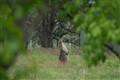 Berrima Kangaroo