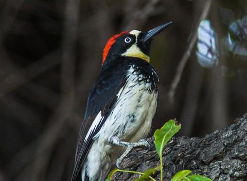 Acorn Woodpecker 1