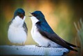 Orange County Swallows