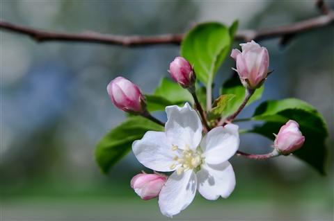 apples 2012-04-03 016