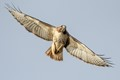 Red-tail approaching