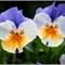 pansies-1: OLYMPUS DIGITAL CAMERA