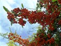 Orange Berries -