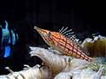 Michael's fish -longnose hawkfish (Oxycirrhites typus).
