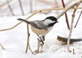 Black Capped Chicadee in Winter