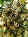 Plague Soldier Beetles