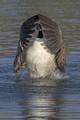 Canada goose in Regent's Park