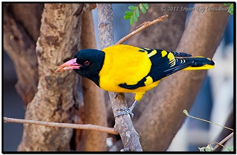 Black-Hooded Oriole, Male