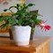 Christmas Cactus_21.11.18-H_half size: Quick shot to demonstrate the great image quality of D40X