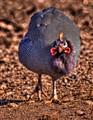 Guinea Chicken