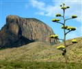 Agave in Big Bend