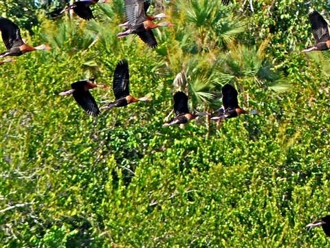 Black-bellied Whistling Ducks 140075