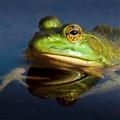 Green Frog (Rana clamitans), Franklin Island, Ontario