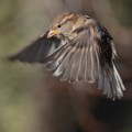 Sparrow in flight.