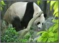 Playful Panda!
