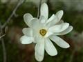 Cvijet magnolije