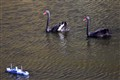 swan-silverfish_IMG_9263