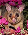 Brushtailed Possum