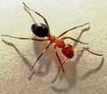 Stand Alone Ant