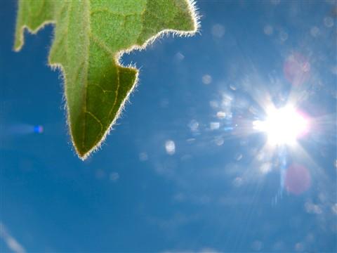 leaf-sun06