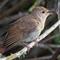 Nightingale2