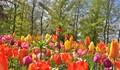 Tulips and the Windmill at Keukenhof