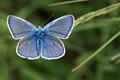 Hauhechel Bluebird
