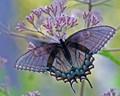 Female Black Swallowtail. Papilio glaucus