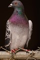 Common but colorful pigeon