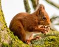 squirrel nutting