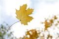 Falling Maple Leaf