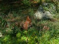 Red Squirrel Isle of Wight OOC