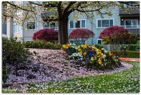 1-CherryBlossomCarpet