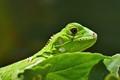 Young green iguana sunbathing