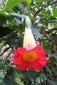 Angel's Trumpet (Brugmansia spp.)