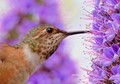 Closeup of an Allen's Hummingbird Feeding