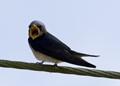 The Avian Scream !