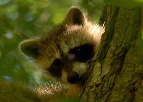 Bambino raccoon..