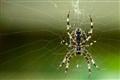 Araneus diadematus (Cross-spider)