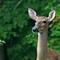 Deer_7600b_filtered2