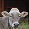 Cow posing