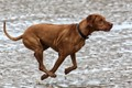 Seen running on the beach at Old Hunstanton, Believed to be a Hungarian Vizsla.