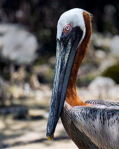 Brown Pelican Portrait at Key Largo Florida (Pelecanus occidentalis)
