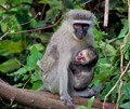 Vervet mother and baby