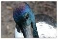 Jabiru. Black Necked Stork