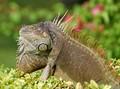 Iguana on a bush
