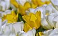 Tulip_3388