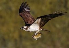 Osprey with a Rock Bass